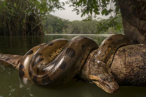 Anaconda Amazon